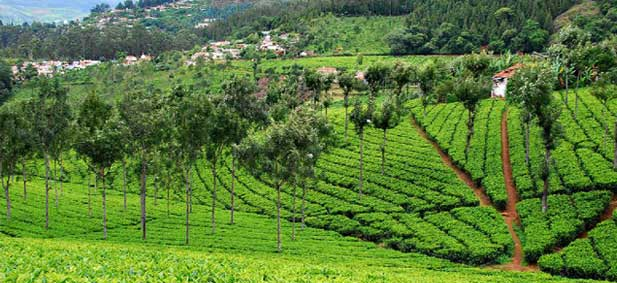 tea-gardens-coonoor.jpg